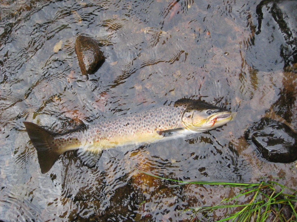 7lb Sea Trout from Craigo Stream Pool (Returned)