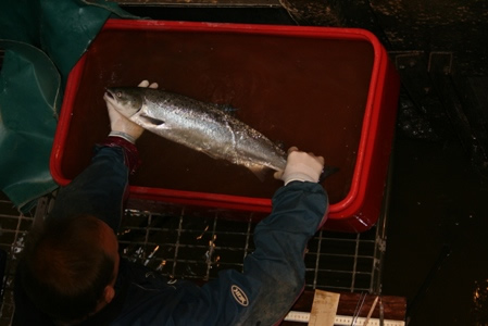 Anaethetised salmon ready for tagging