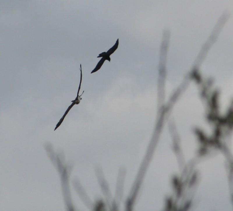 crow mobbing osprey