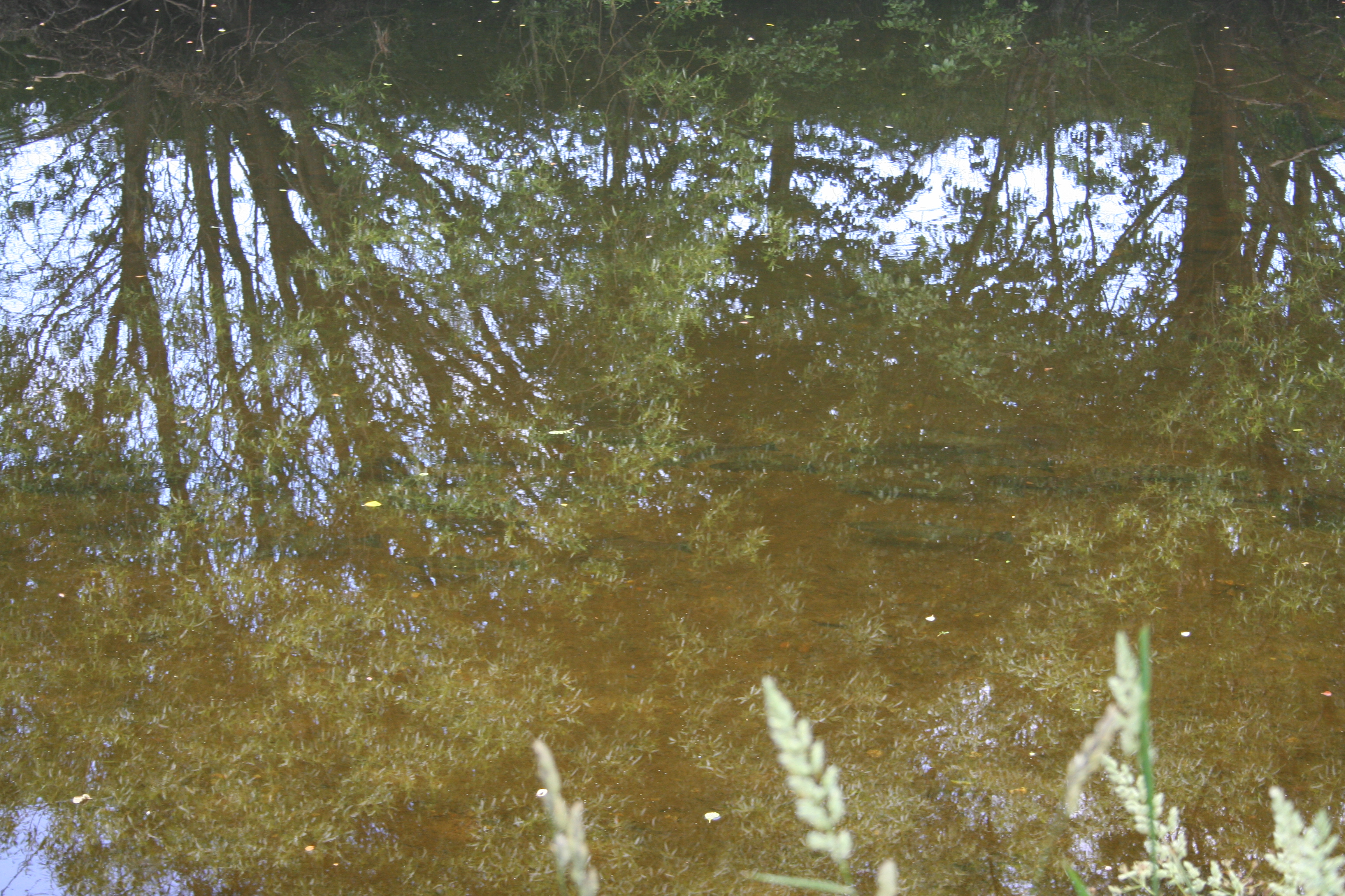 Seatrout shoal in Boat Pool
