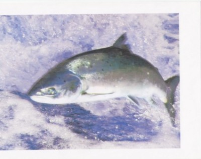 Statter photo of leaping salmon